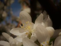 Blossoms on a Tree in the Spring. White blossoms begin to open on a tree in the Spring Royalty Free Stock Images