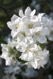 White blossoms of a blooming apple tree Royalty Free Stock Photography