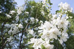 White blossoms of a blooming apple tree Stock Image