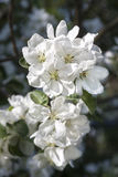 White blossoms of a blooming apple tree Stock Photos