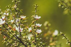 White blossoms blooming on Manuka tree in New Zealand stock image