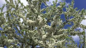White Blossoms Blowing on Spring Tree Branches. White blossoms waving in slow motion wind on a crabapple tree under blue sky on a sunny spring day stock video