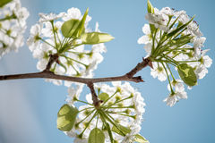 White Blossoms. A branch with small white flowers Stock Image