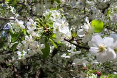 White blossoms on branches cherries stock image