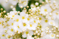 White Blossoms of Bridalwreath bush Stock Images