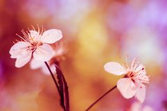 White blossoms of cherry with blurred pink background. Branches of cherry. Flowers cherry close-up. Nature beauty. Amazing stock photo