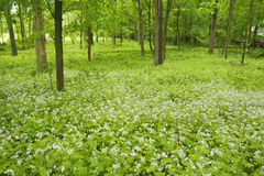White blossoms cover floor of woods. Stock Images