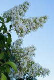 White Crepe Myrtle tree in full bloom. White blossoms flowering on a Crepe Myrtle tree (Lagerstroemia indica) at the end of Spring in Houston, TX stock photos