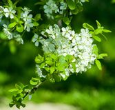 White blossoms on green background royalty free stock images