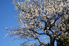 White blossoms of japanese plum tree Ume in japanese in early spring under blue sky Stock Image