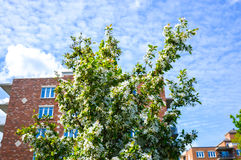 White blossoms with nice modern building. In background Stock Photos