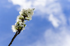 White blossoms on perch of the plum tree Royalty Free Stock Images