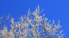White blossoms on plum tree stock footage