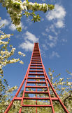 White blossoms red ladder. Tall red ladder in flowering orchard Royalty Free Stock Photo