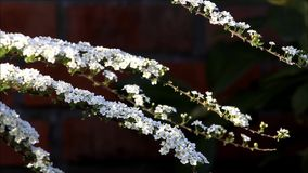 White blossoms Spiraea in spring stock video