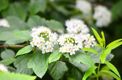 The white blossoms of a Spirea. Summer closeup Stock Photography
