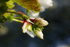 White Blossoms in Spring Royalty Free Stock Images