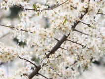 White blossoms Stock Image