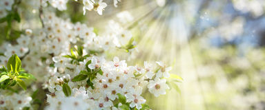 White blossoms in spring sun