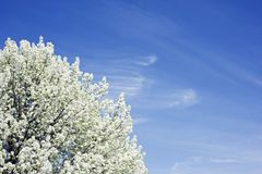 White blossoms in springtime Royalty Free Stock Photos