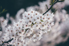 White blossoms on tree Stock Image