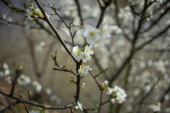 White blossoms on a tree. White blossom on a tree in springtime Royalty Free Stock Images