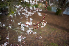 White blossoms on a tree, early springtime Stock Photography