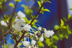 White blossoms on tree in spring with deep blue modern building Stock Photography