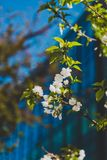 White blossoms on tree in spring with deep blue modern building Stock Image