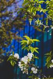 White blossoms on tree in spring with deep blue modern building Stock Photo