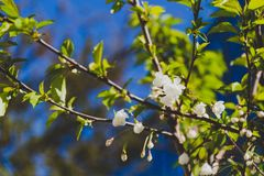 White blossoms on tree in spring with deep blue sky Royalty Free Stock Photo
