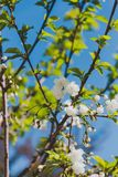 White blossoms on tree in spring with deep blue sky Royalty Free Stock Photography