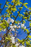 White blossoms on tree in spring with deep blue sky Stock Image