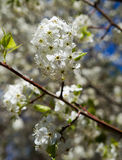 White blossoms Royalty Free Stock Image