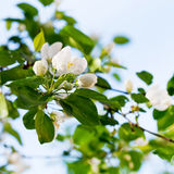 White blossoms on twig Stock Photography