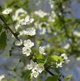 White blossoms on a twig at spring time Stock Photos