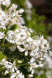 White blossums of choisya ternata Stock Photo