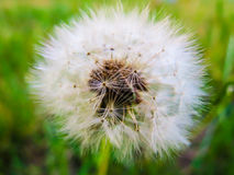 White blowball on green background. Just one of thousands photos of dandelions Stock Photography