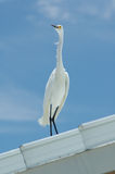 White and Blue. White egret standing on white tin roof against a blue Florida sky Stock Photography