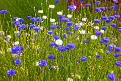White and blue bachelor flowers in the field. Stock Photos