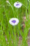 White blue cornflowers in green meadow Royalty Free Stock Images