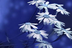 White-blue daisies bloom on a sunny summer day. Beautiful blue floral background of forest flowers. Close-up. Stock Image