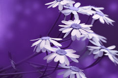 White-blue daisies bloom on a sunny summer day. Beautiful purple floral background of forest flowers. Close-up. Royalty Free Stock Photography