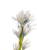 White and blue delicate flower Puschkinia niatsintnoides Stock Photos