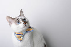 White blue-eyed cat in a bow tie on a white background looks right, free space for a design Royalty Free Stock Photo