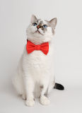 White blue-eyed cat in a red bow tie. Pretty white cat wearing red bow tie Stock Images