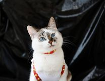 White blue-eyed cute cat dressed in t-shirt and a red leather harness. Stylish outfit with accessories. Black background. White blue-eyed cute cat dressed in t stock photos