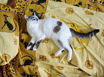 White blue-eyed fluffy cat lies on the bed, on bed linen with a print of Egyptian cats. White blue-eyed fluffy cat lies on the bed, on bed linen with print of stock image