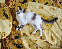 White blue-eyed fluffy cat lies on the bed, on bed linen with a print of Egyptian cats. White blue-eyed fluffy cat lies on the bed, on bed linen with print of royalty free stock photos