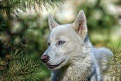White blue-eyed husky Stock Photo